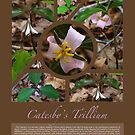 Catesby's Trillium Poster by Richard G Witham
