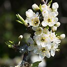 Hawthorn Blossom by Kasia-D