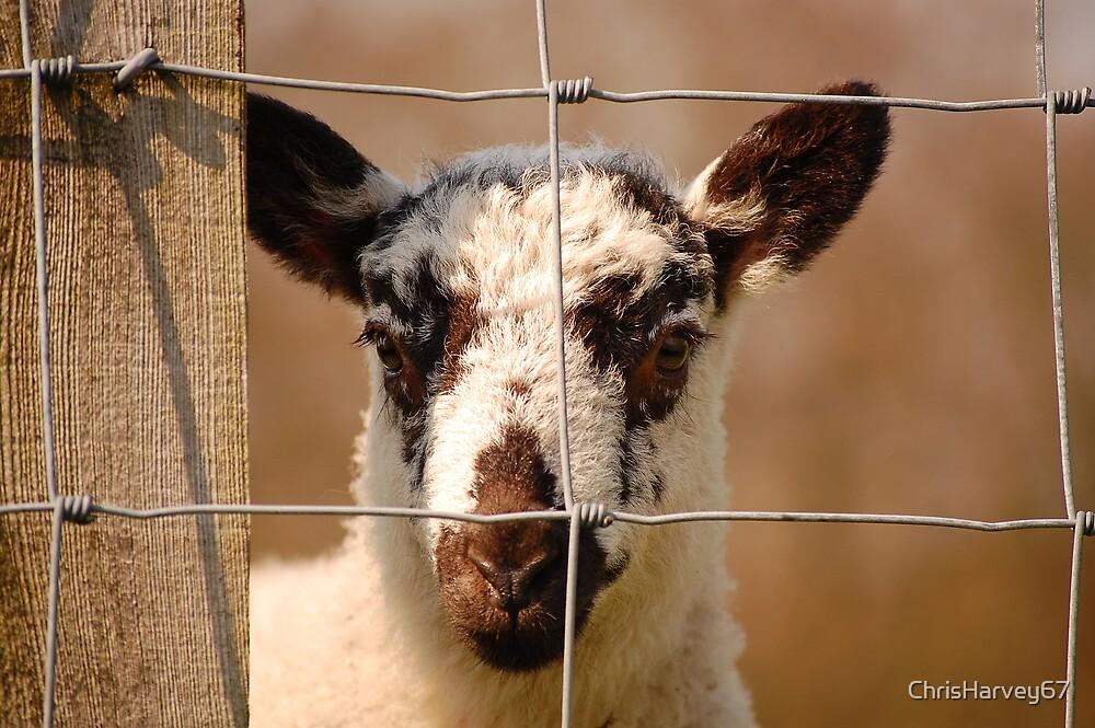 Inquisitive Lamb by ChrisHarvey67