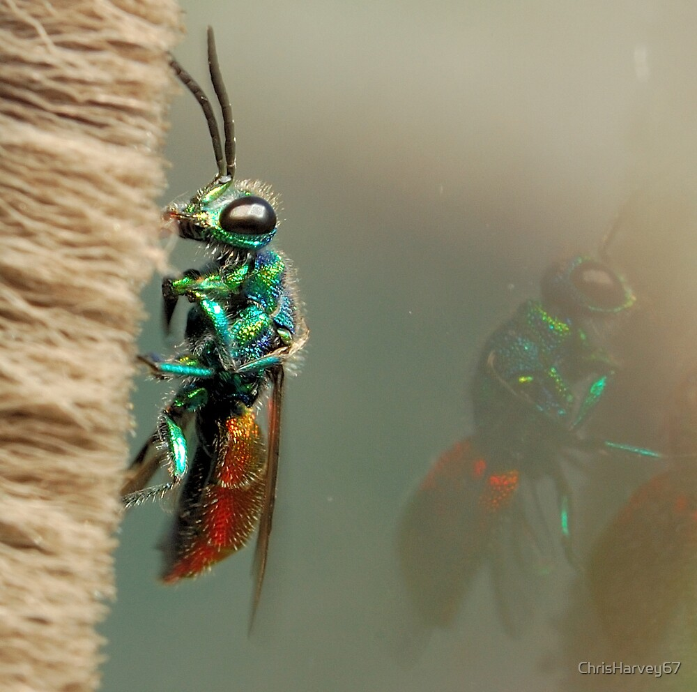 Ruby-tailed wasp by ChrisHarvey67