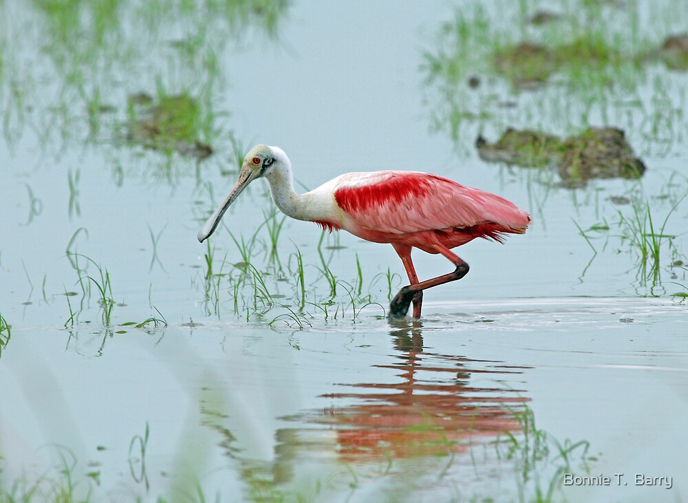 Roseate Spoonbill by Bonnie T.  Barry
