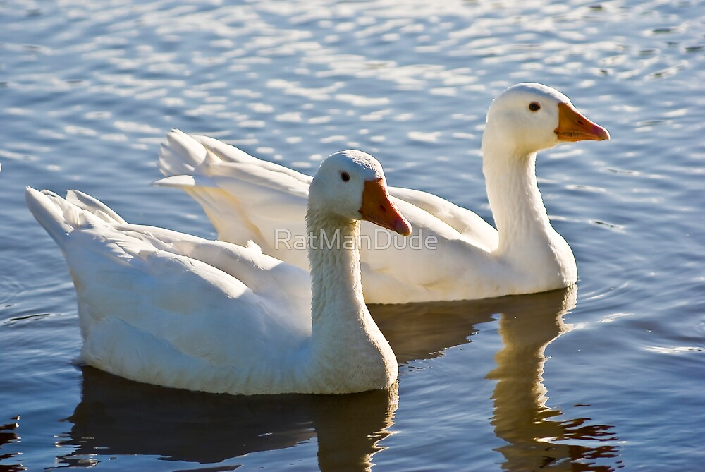 A Pair of Wading Domestic Geese by RatManDude