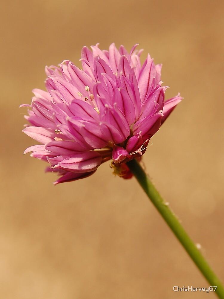 Chive flower by ChrisHarvey67