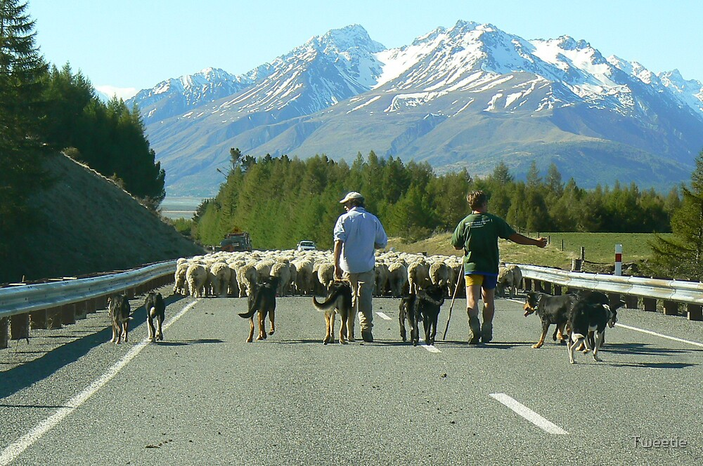 Sheep in New Zealand by Tweetie
