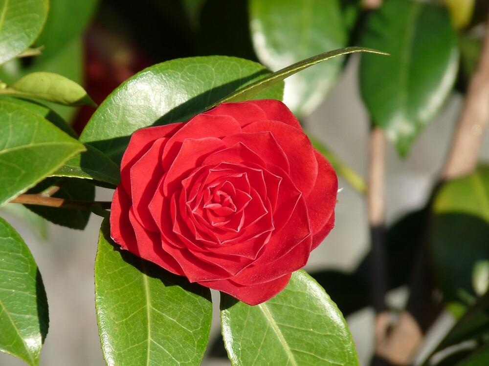 Red camellia by presbi