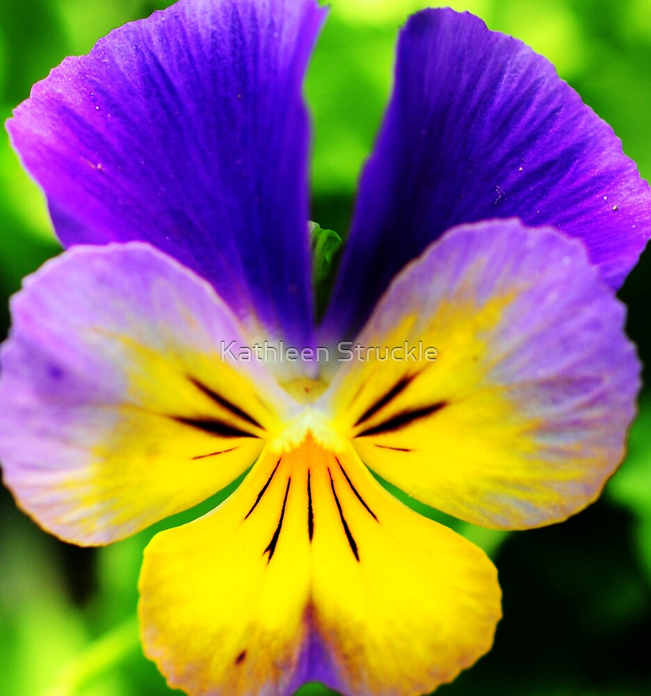 Pansy by Kathleen Struckle