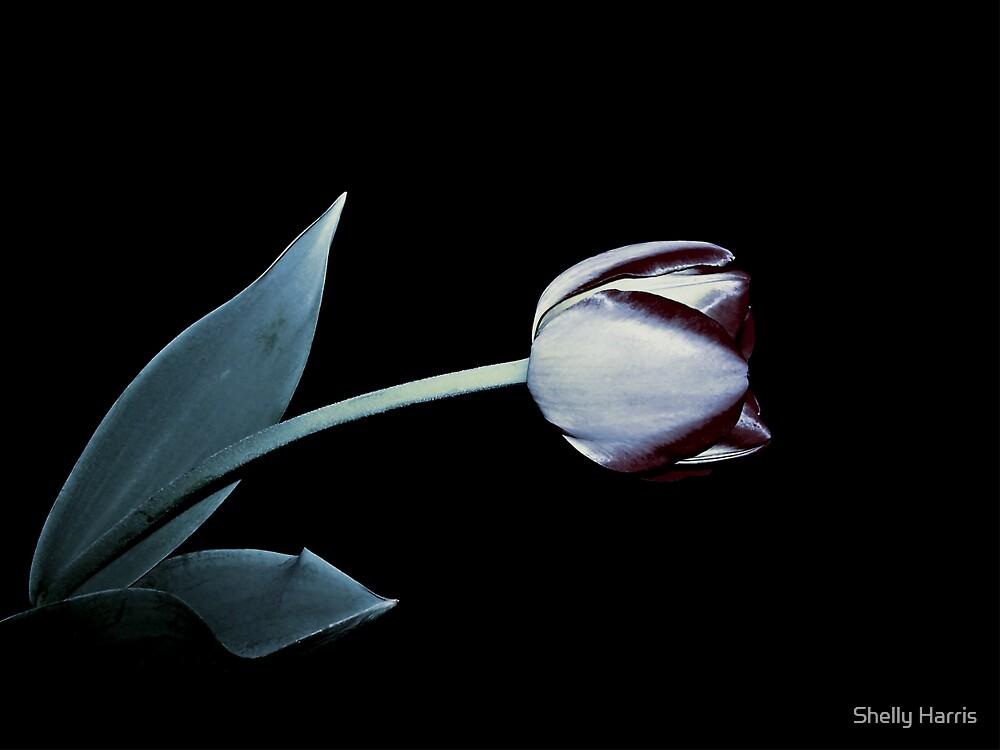 Dark Tulip by Shelly Harris
