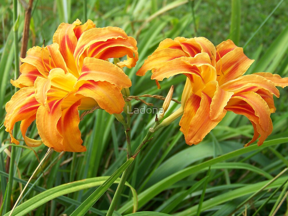 Pair of Lilies by Ladona