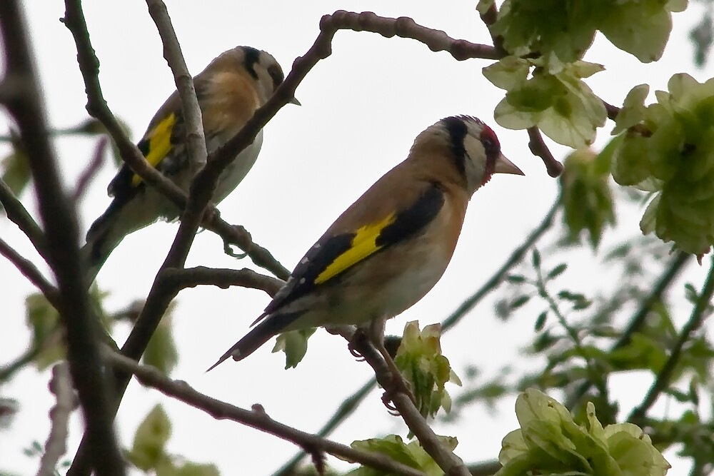 A Pair of Goldfinches by Chris Clark