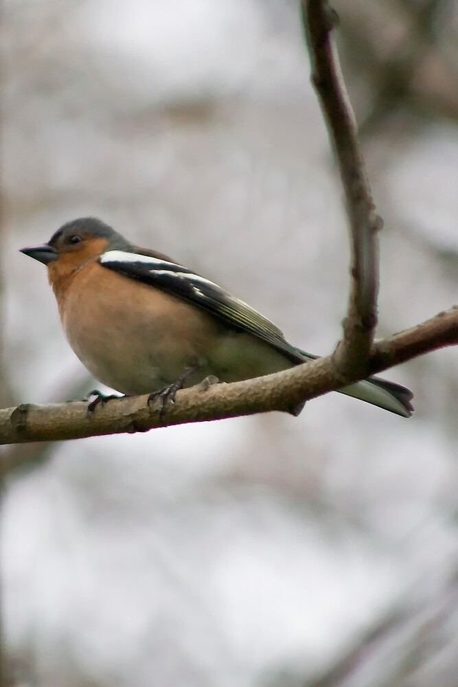 Male Chaffinch by Chris Clark