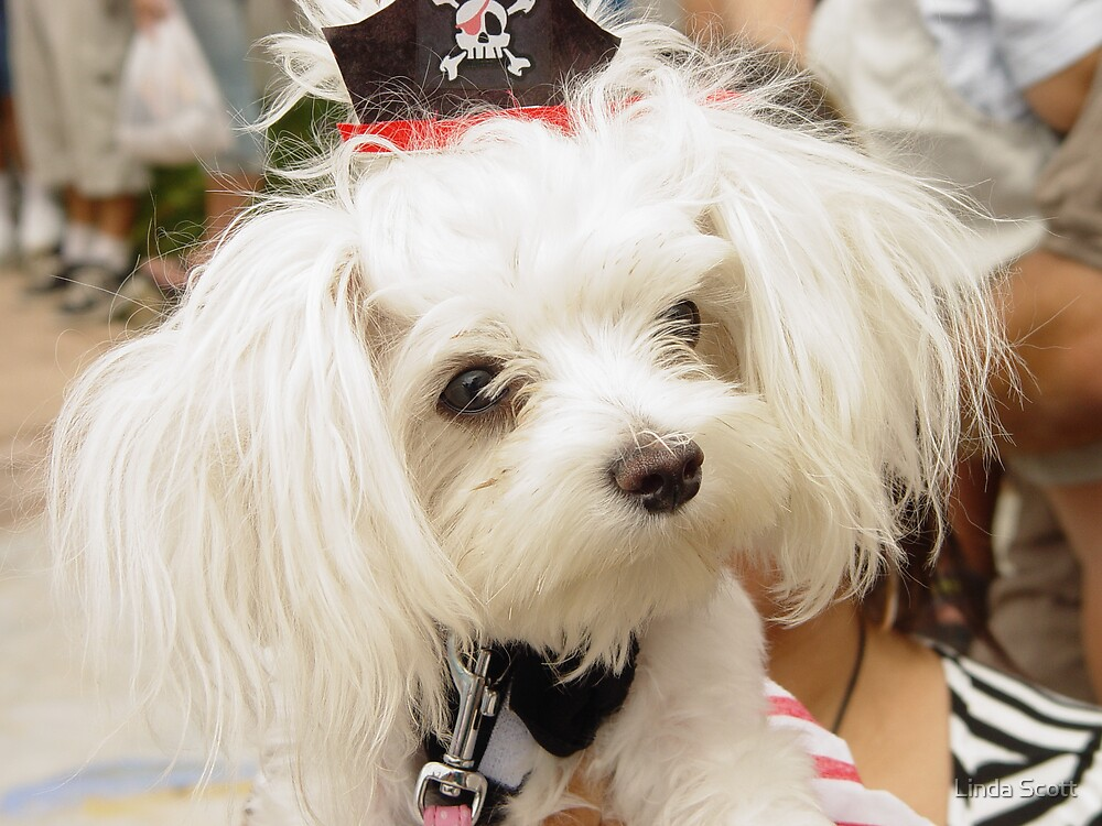 Maltese Pirate Dog by Linda Scott