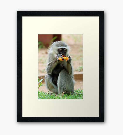 SNACK TIME - Vervet Monkey, (CERCOPITHECUS PYGERYTHRUS) Framed Print
