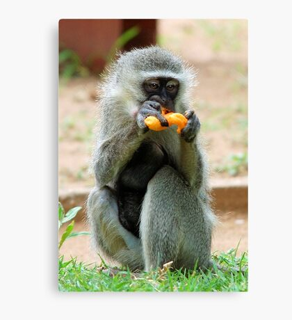 SNACK TIME - Vervet Monkey, (CERCOPITHECUS PYGERYTHRUS) Canvas Print