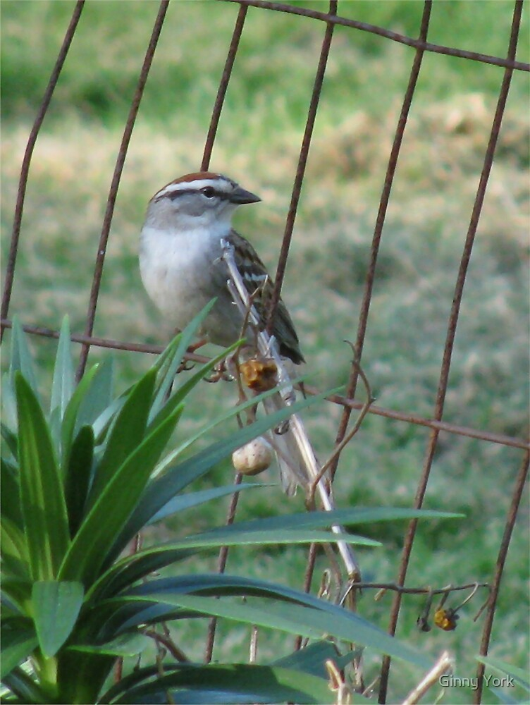 Little Bird On The Fence by Ginny York