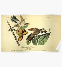 James Audubon Vector Rebuild - The Birds of America - From Drawings Made in the United States and Their Territories V 1-7 1840 - Yellow Billed Cuckoo Poster