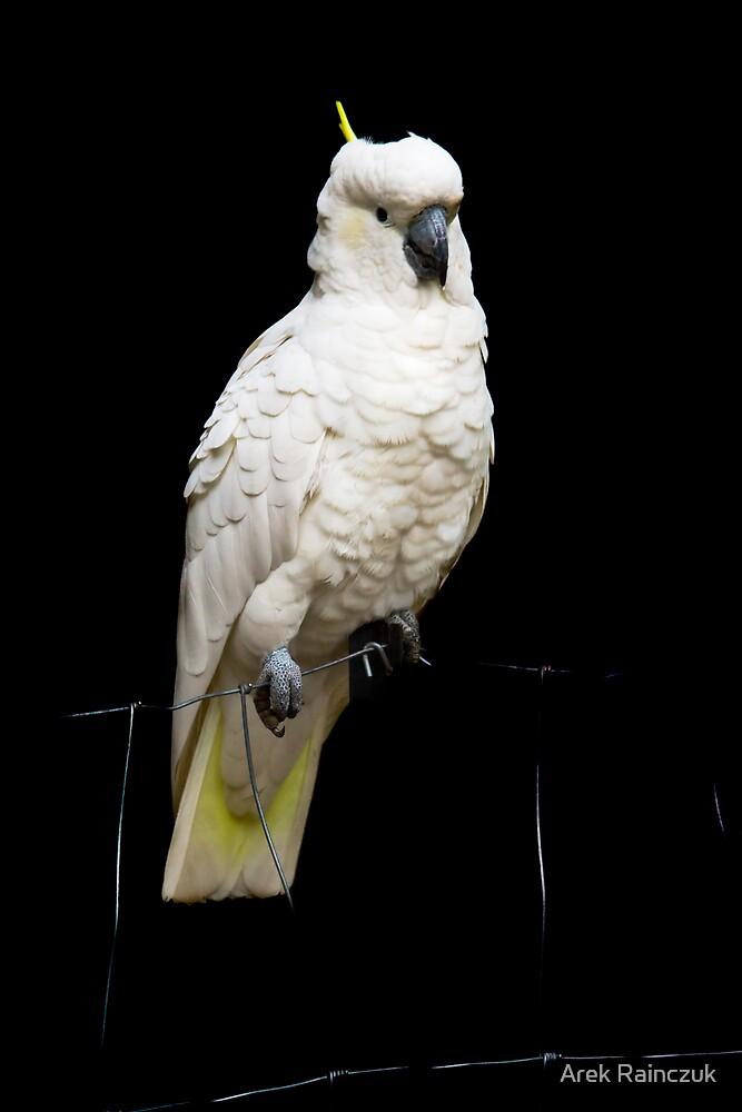 Cockatoo by Arek Rainczuk