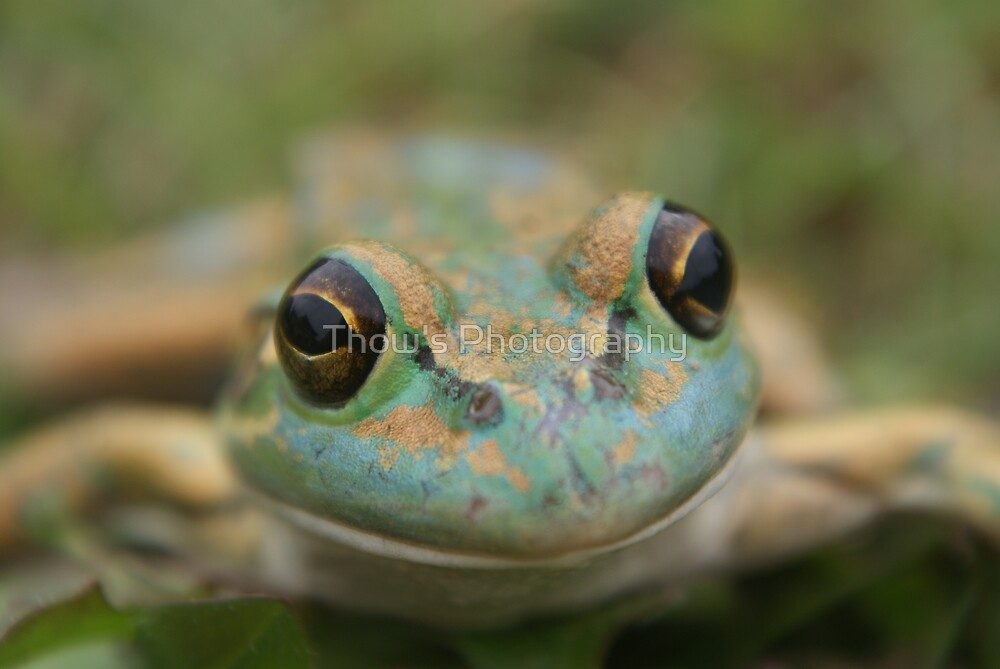 Frog 3 by Thow's Photography