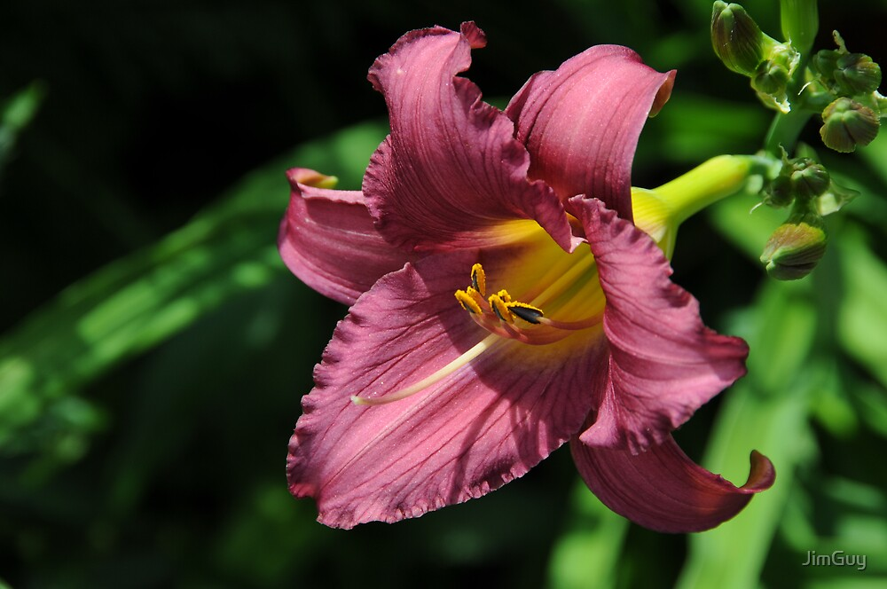Pink Day Lily by JimGuy