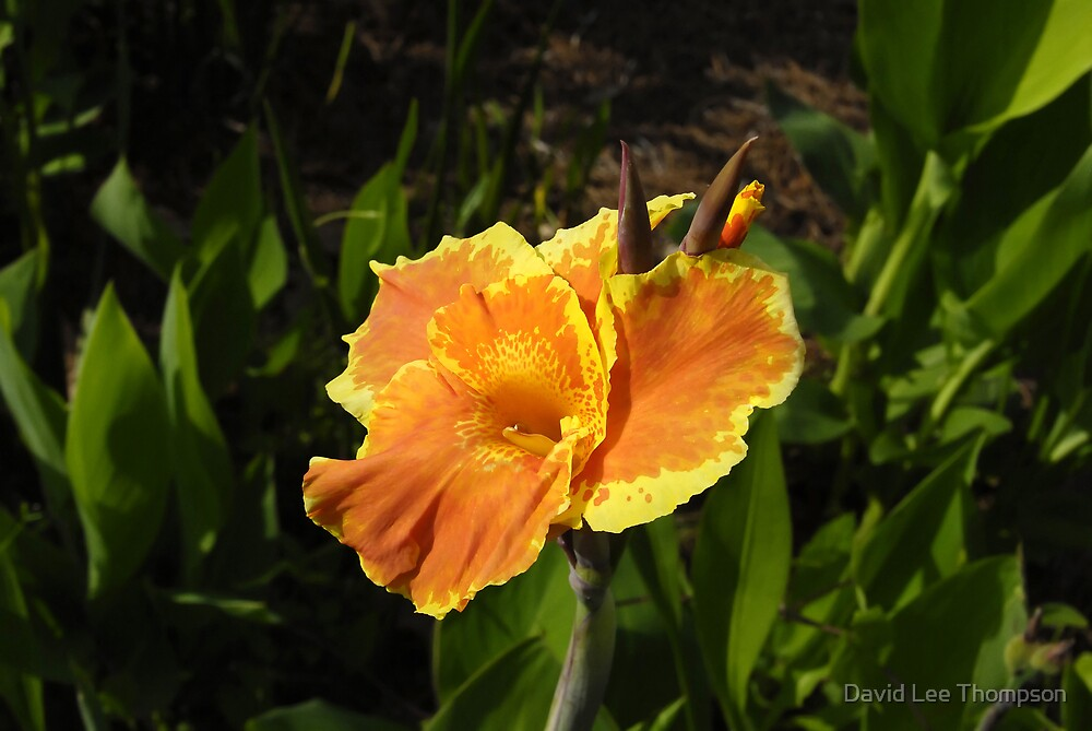 Orange Beauty by David Lee Thompson