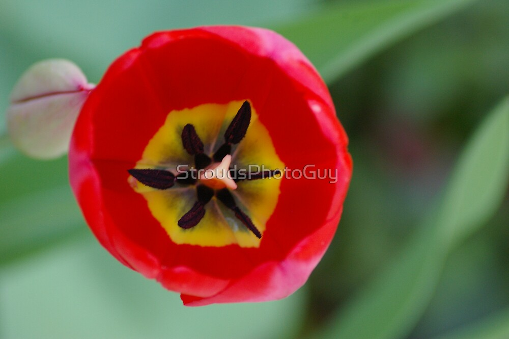 Tulip from above by StroudsPhotoGuy