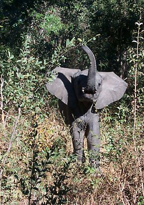 Baby Elephant in Africa by Dr. Eric  Flescher