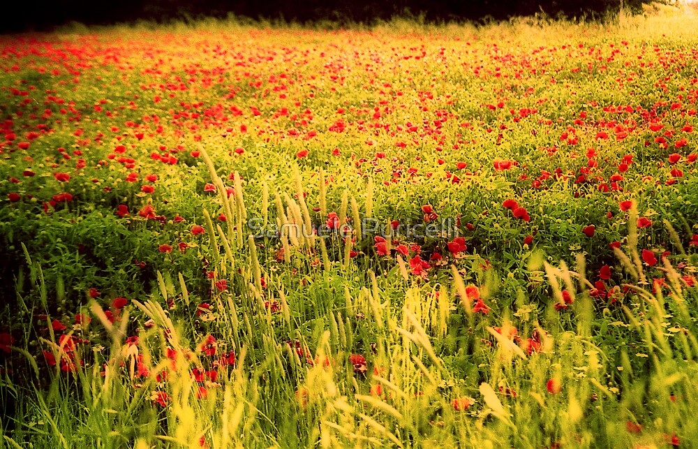 Poppies field by Samuele Puricelli