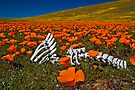 Poppies and Bones by photosbyflood