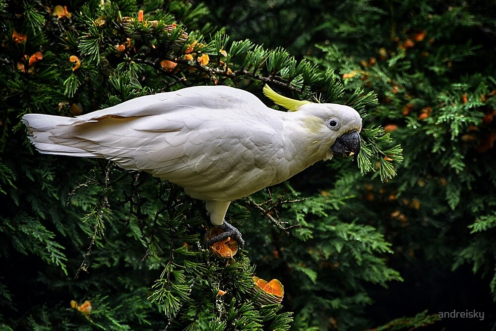 Sulphur-crested cockatoo by andreisky