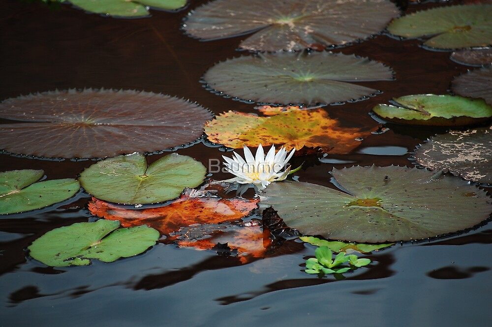Lily by Baummer