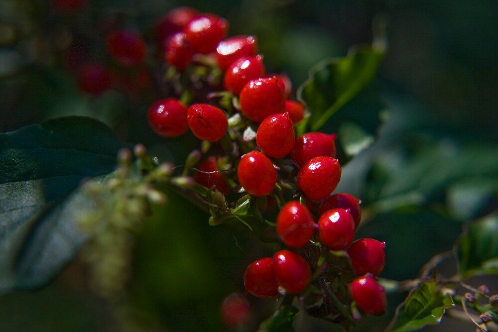 Red berries by faulsey