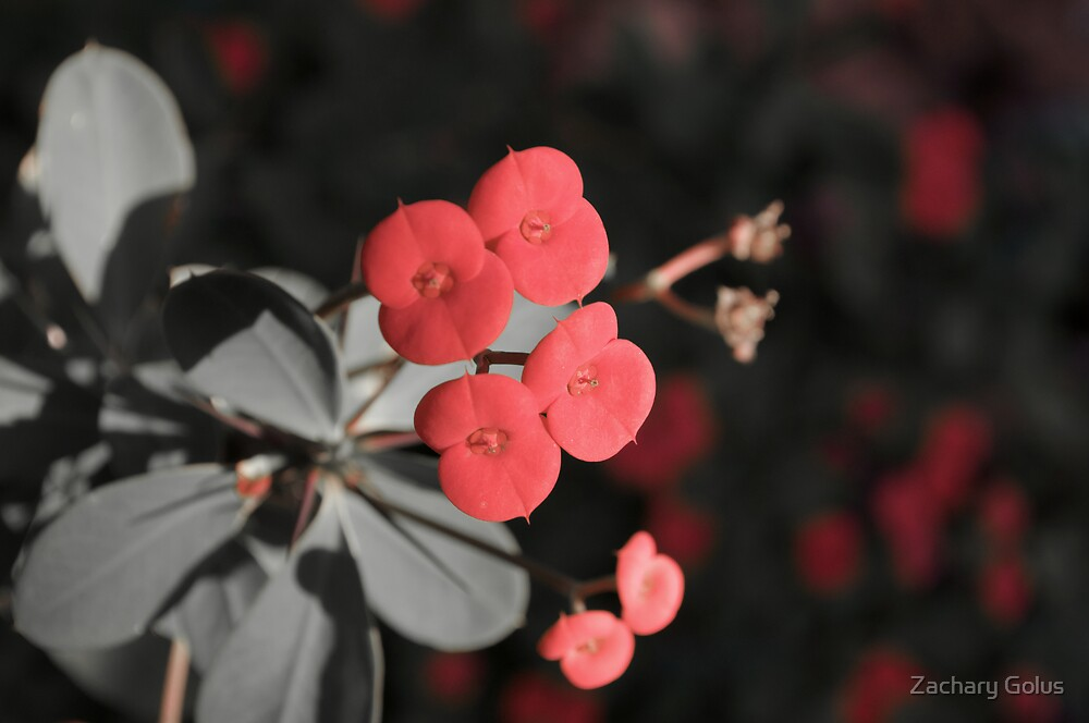 Little Red Flowers by Zachary Golus