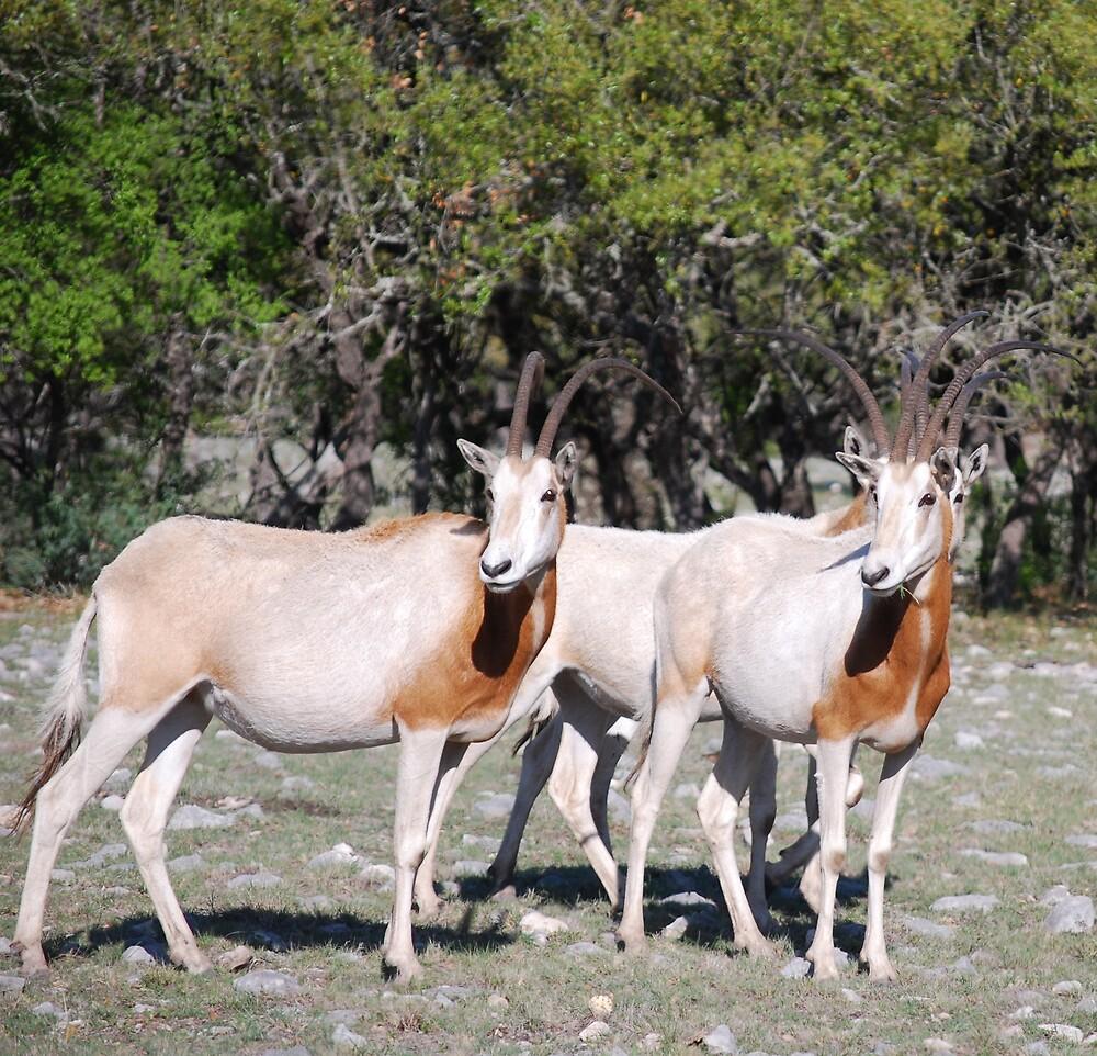 Oryx by BonnieColeman