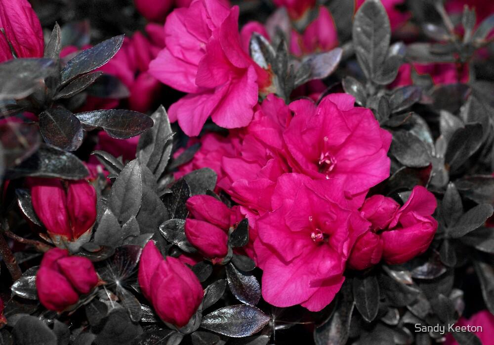 Pink Azeleas by Sandy Keeton