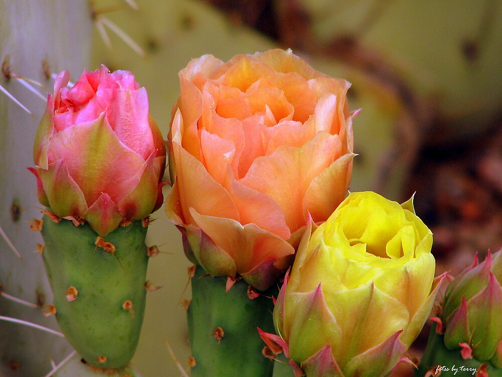Desert Blooms by Terry Temple