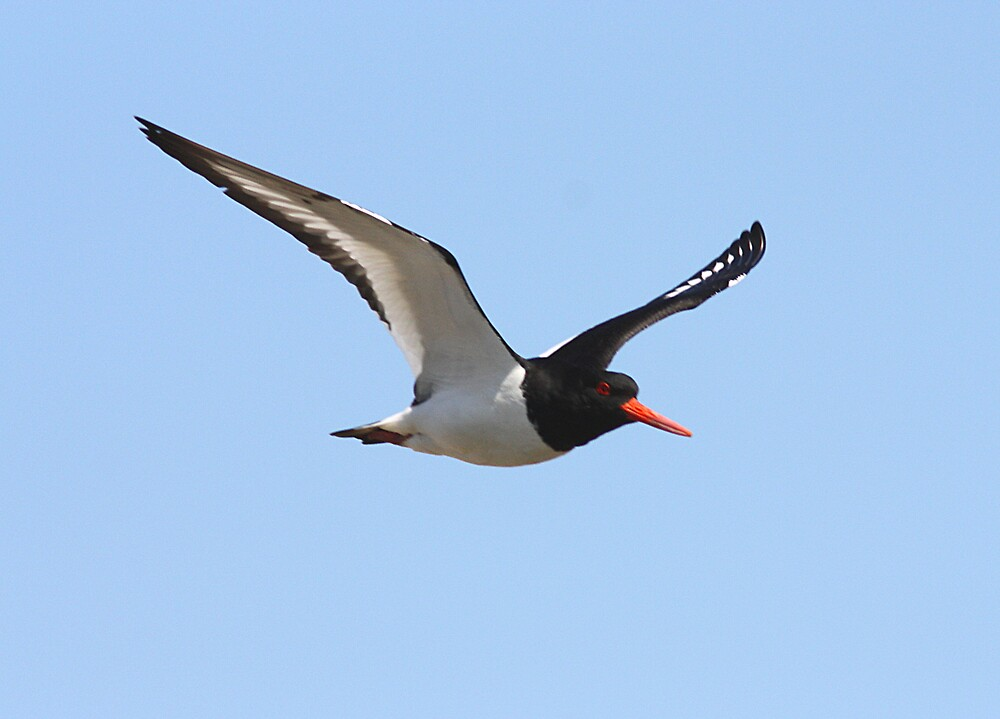 Oystercatcher in flight  by Neil Ludford