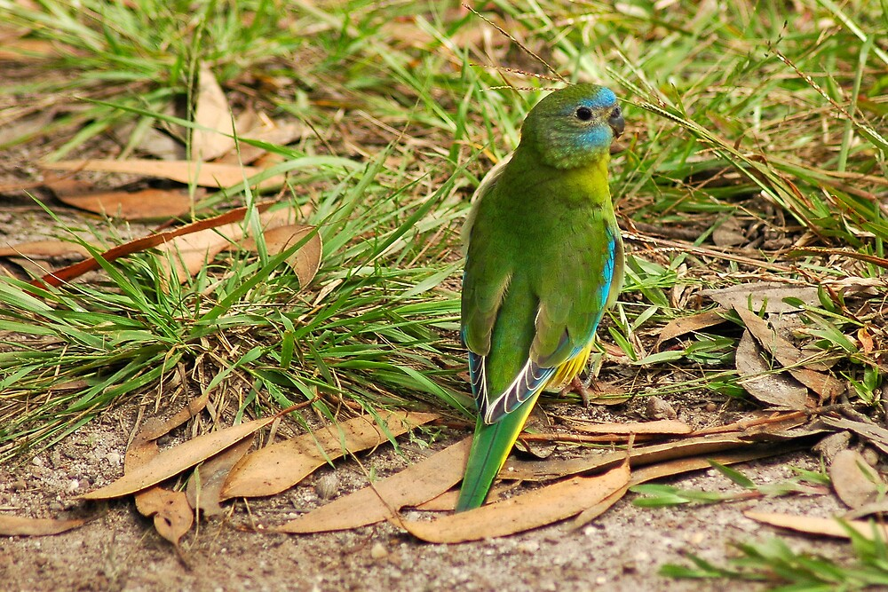 Turquoise Parrot by Daniel Mitchell