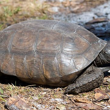 Gopher Tortoise by OrphieG