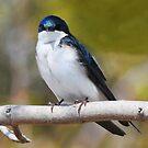 Tree Swallow by Nancy Barrett