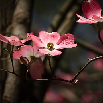 The Pink Dogwood by RoseC