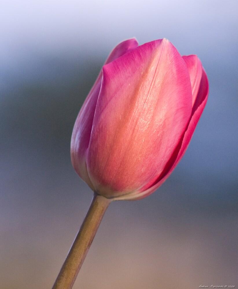 a simple tulip by Andrea Rapisarda
