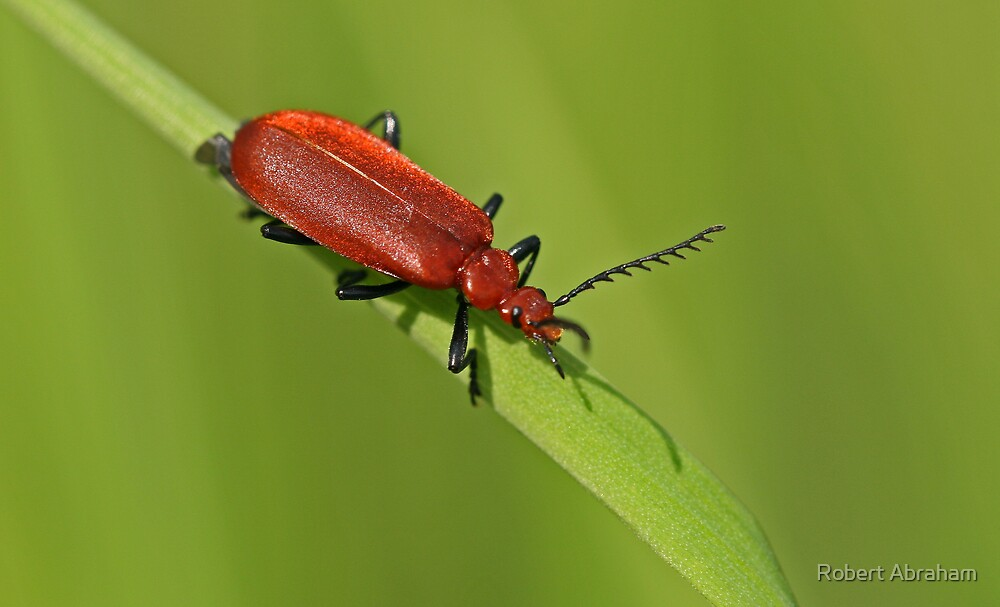 Cardinal Beetle by Robert Abraham