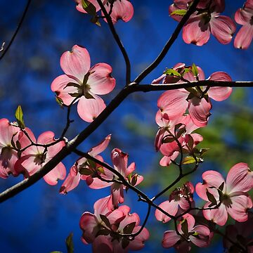 The Pink Dogwood Tree by RoseC
