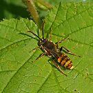 Cuckoo Bee - Nomada lathburiana by Robert Abraham