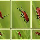 Red Cardinal by Robert Abraham