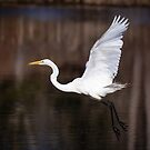 Egret Taking Off in the Morning by Robert Kelch, M.D.