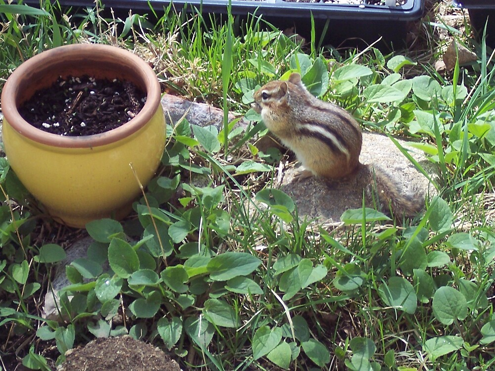 Chubbies the Chipmunk! by sweetiepeachess
