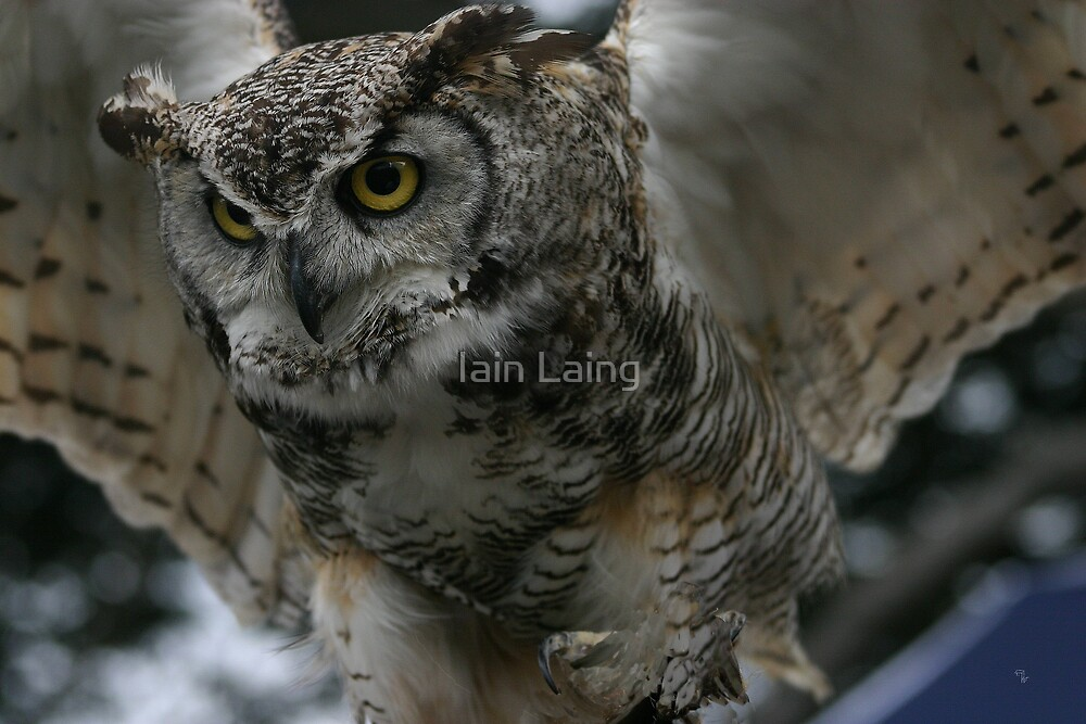 Great horned owl by Iain Laing