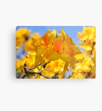 Yellow Rhododendron Flowers. Spring Pruhonice Park Metal Print