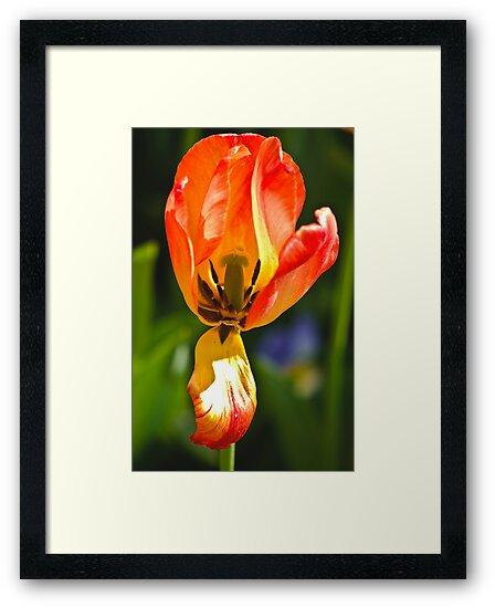 Tulip Show by photosbyflood