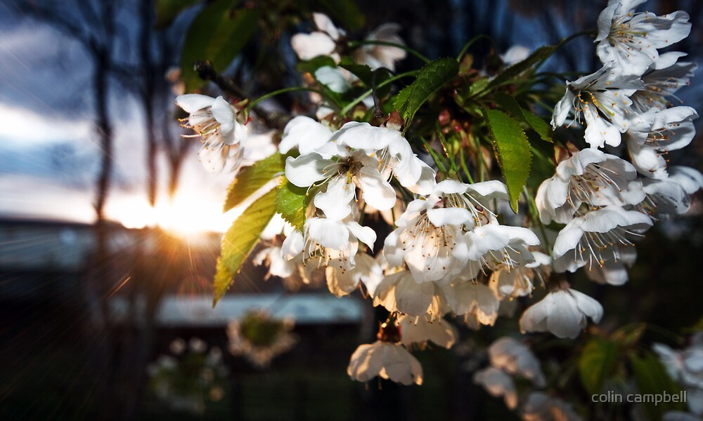 Blossom flow by colin campbell